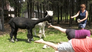 Yoga and Alpacas
