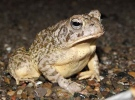 Fowler's toad is protected under the Endangered Species Act.
