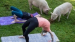 Tania Whelan, top, and Karilee Ennis participate in a yoga session with pigs during a charity fundraiser at The Happy Herd Farm Sanctuary, in Aldergrove, B.C., on Sunday June 24, 2018. (THE CANADIAN PRESS/Darryl Dyck)