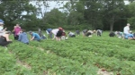 Annual Strawberry Festival at Barrie Hill Farms