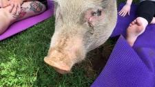 Pig yoga