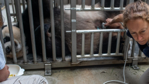 Officials closed the David M. Rubenstein Family Giant Panda Habitat on Sunday to give Mei Xiang some quiet time because she's exhibiting behaviours that are in line with both a pregnancy and false pregnancy. (Smithsonian's National Zoo and Conservation Biology Institute/Facebook)