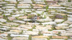 Eggs are seen below a nesting killdeer bird on a cobblestone path on the site of the Ottawa Bluesfest music festival, next to the Canadian War Museum in Ottawa on Monday, June 25, 2018. THE CANADIAN PRESS/Justin Tang