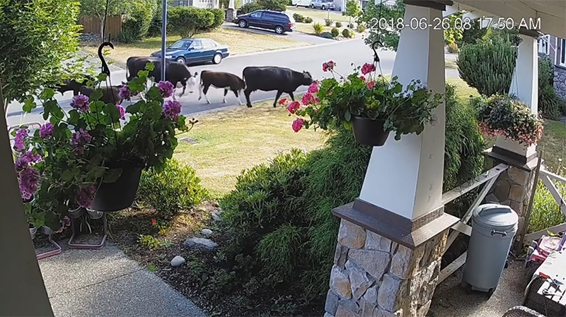 Six  cows casually sauntered down Stonewood Drive in Sooke Tuesday, June 26, 2018. (Courtesy Steve Schlatter)