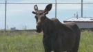 Reacting to wildlife on the road, moose