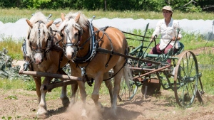 Mylaine Massicotte guides her team of horses as she plows her field Friday, June 29, 2018 in Havelock, Que. THE CANADIAN PRESS/Ryan Remiorz