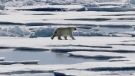 In this July 21, 2017 file photo a polar bear walks over sea ice floating in the Victoria Strait in the Canadian Arctic Archipelago. THE CANADIAN PRESS/AP/David Goldman