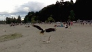 Bald eagle attacks seagull on Vancouver beach