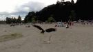 Bald eagle attacks seagull on Vancouver beach