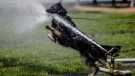 Police dog Crack tries to drink water from a sprinkler on a hot and sunny day at the government district in Berlin, Wednesday, May 30, 2018. (AP Photo/Markus Schreiber)