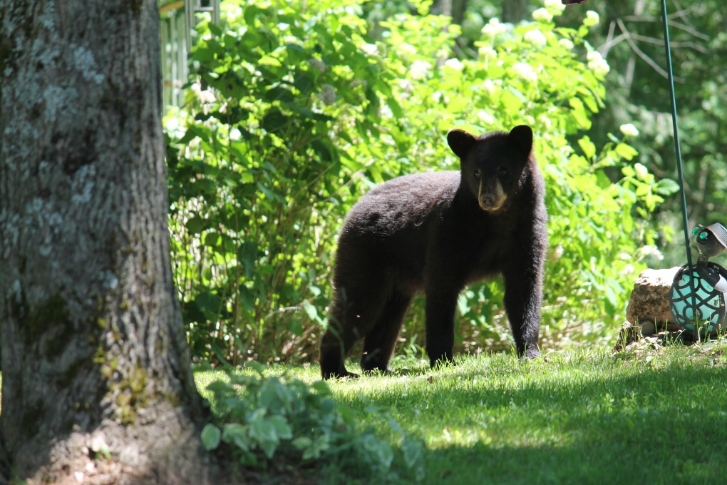 OPP issue warning about bear sightings in Midland