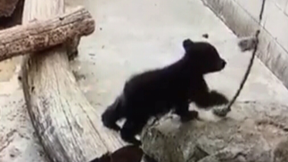 The North Island Wildlife Recovery Centre posted a video on Tuesday of the cub playing a little tug-of-war with a rope at its rescue centre in Errington. July 3, 2018. (NI Wildlife Recovery Centre)
