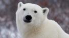 A polar bear poses for the camera as he waits for the Hudson Bay to freeze over near Churchill, Man. Wednesday, Nov. 7, 2007. (Jonathan Hayward/ The Canadian Press)