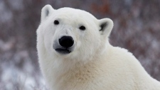 A polar bear poses for the camera as he waits for the Hudson Bay to freeze over near Churchill, Man. Wednesday, Nov. 7, 2007. (Jonathan Hayward/ The Canadian Press)