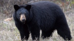 A black bear stands near the side of Highway 881 near Conklin, Alberta on Tuesday May 10, 2016. (THE CANADIAN PRESS/Jonathan Hayward)