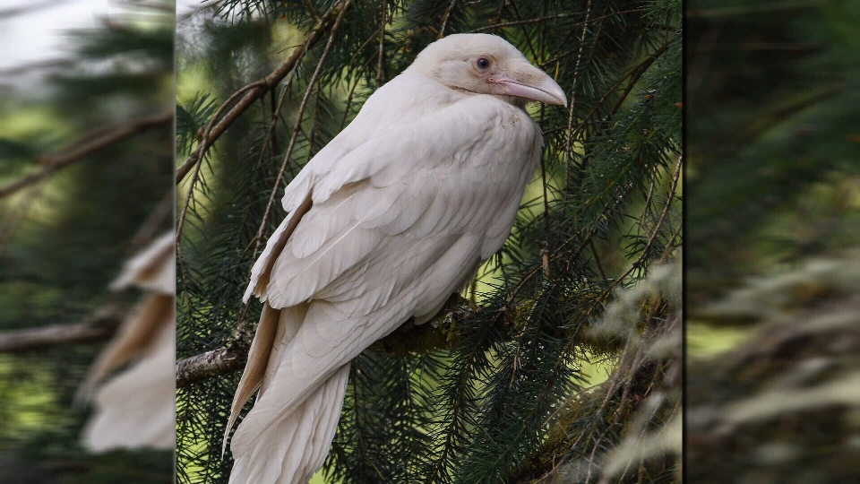 A rare white raven is seen in a tree on a farm in Coombs, B.C. July 4, 2018. (Courtesy Mike Yip)