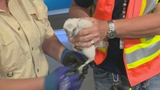 Peregrine falcon chicks get banded for monitoring