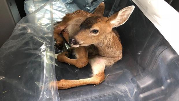 deer struck sidney