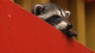 The saga of a daring baby raccoon managed to attract a large group of onlookers in Victoria's Cook Street Village. July 6, 2018. (CTV Vancouver Island)