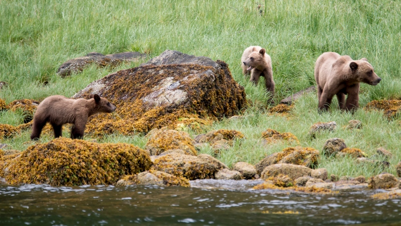 A grizzly bear and its two cubs are seen in the Khutzeymateen Inlet near Prince Rupert, B.C., Friday, June, 22, 2018. (THE CANADIAN PRESS Jonathan Hayward)