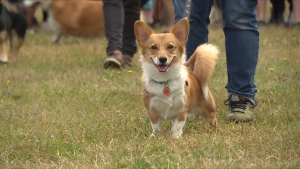 More than 150 corgis and their owners gathered at Spanish Banks Beach on Saturday for an annual meetup that has grown exponentially over the years.