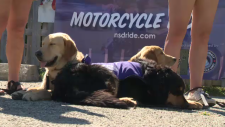 National Service Dog Ride pups