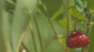 Until the end of July, Kahnawake is home to the third annual Strawberry Food Festival.