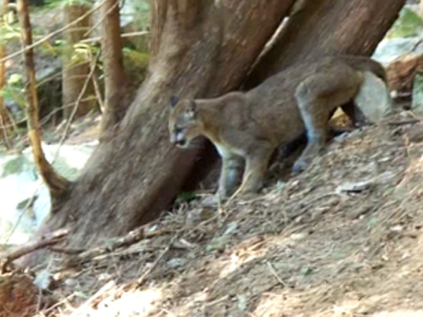 Conservation officers tracked and killed the cougar on June 13, 2009 after it had attacked two dogs. (YouTube)
