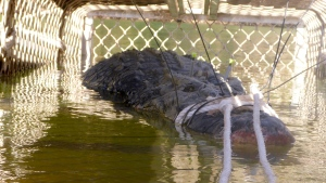 In this Monday, July 9, 2018, photo provided by the Northern Territory Department of Tourism and Culture, a large crocodile is captured in a trap near Katherine, Australia. (NT Department of Tourism and Culture via AP)