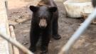 Rescued bear cubs are being returned to the wild after a 15-month stay at the Aspen Wildlife Sanctuary in Muskoka, Ont. (KC Colby/CTV News)