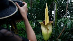 FILE -- A person takes photos of an Amorphophallus titanum that begins to bloom at the New York Botanical Garden (NYBG), Thursday, July 28, 2016, in New York. (AP Photo/Kathy Willens)