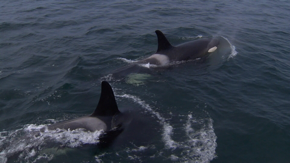 Resident killer whale population is decreasing according to an annual census by the Centre for Whale Research. (CTV Vancouver Island)