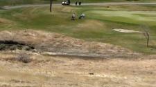 Coyote near Country Hills Golf Club