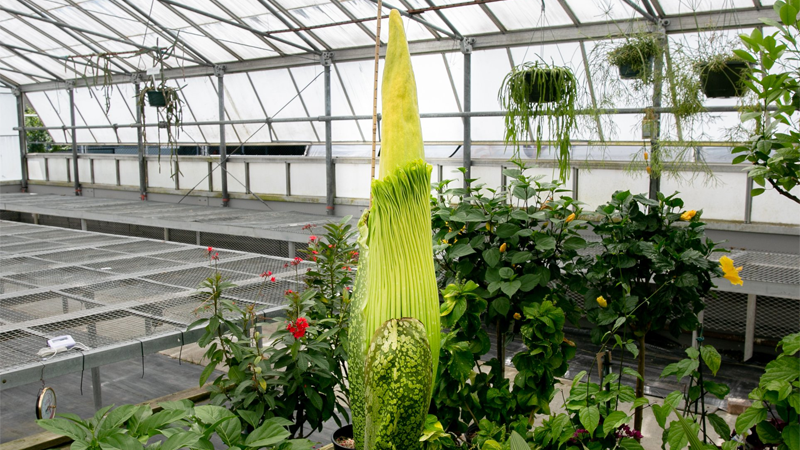 When the corpse flower blooms, it unleashes a scent that's been compared to rotting flesh or discarded diapers. (Vancouver Park Board)