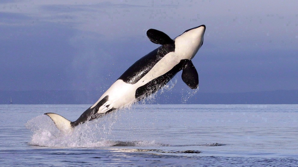 A female resident orca whale breaches while swimming in Puget Sound near Bainbridge Island as seen from a federally permitted research vessel Saturday, Jan. 18, 2014. THE CANADIAN PRESS/AP-Elaine Thompson