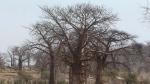 In this photo taken Wednesday, Sept. 20, 2017, two baobab trees grow alongside one another in a field in Chimanimani, Zimbabwe. (AP Photo/Tsvangirayi Mukwazhi)
