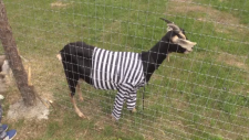 goat in stripes