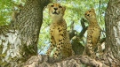Meet Parc Safari's cheetah cubs