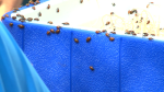 Ladybugs released into Victoria Park