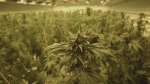 cannabis generic