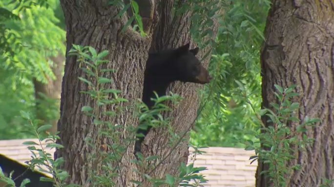 A black bear hanging out in a tree in Port Perry, Ont. on July 13, 2018.