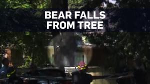 Caught on camera: Bear falls from tree in Ontario