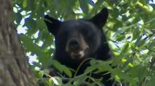 Port Perry bear