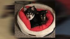 Miniature dachshund killed by large dog