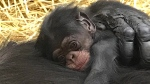 This photo provided by The Detroit Zoological Society shows a bay chimpanzee born, Saturday, July 14, 2018 at the Detroit Zoo in Royal Oak, Michigan. The Detroit Zoo says the female chimpanzee was named after primatologist Jane Goodall. (The Detroit Zoological Society via AP)