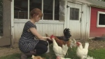 Microsanctuary gives chickens a second chance