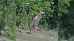 A trapped coyote is seen in Churchill Park in Cambridge, Ont. (George Aitkin/Facebook)