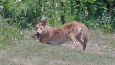 Cambridge coyote traps cause controversy