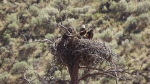 A pair of eagles guard a nest believed to contain two babies near a wildfire in East Shuswap.