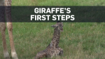 Caught on cam: Baby giraffe's first steps